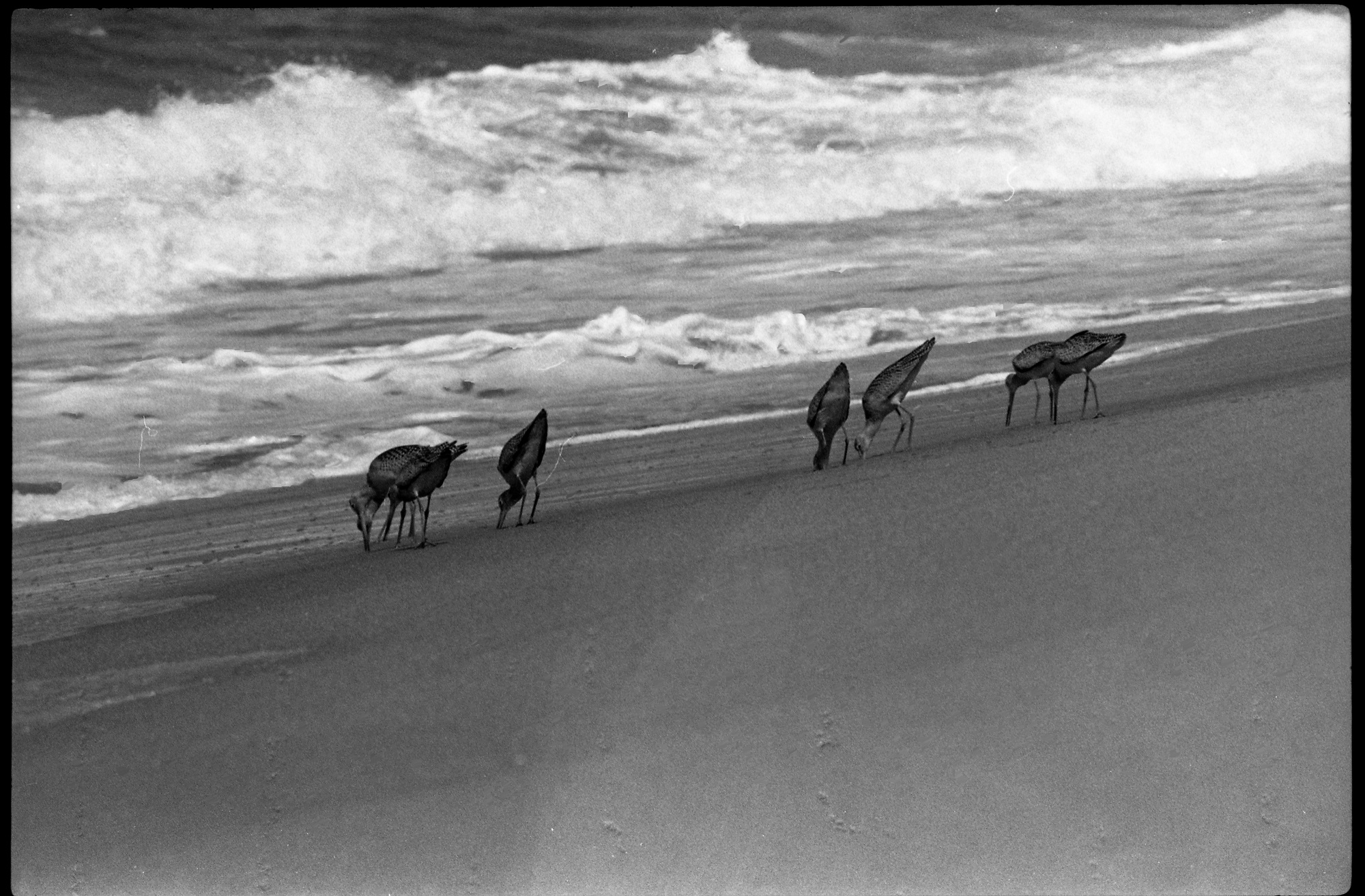 Baja beach birds, from Walt Girdner's Mexico collection.
