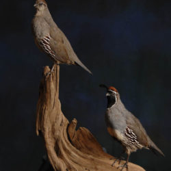 Upland Taxidermy