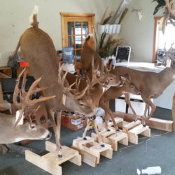 Mehlhop Four Season Taxidermy (116)