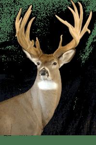Mehlhop's Four Seasons Taxidermy - Deer Head 2