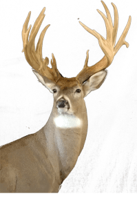 Mehlhop's Four Seasons Taxidermy - Deer Head 2