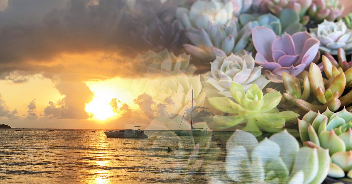 sunset succulent