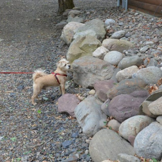 Rusty looking for Alvin - the friendly though elusive Chipmunk