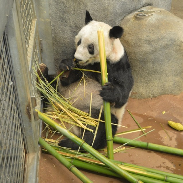 Lunchtime for Memphis Zoo Panda