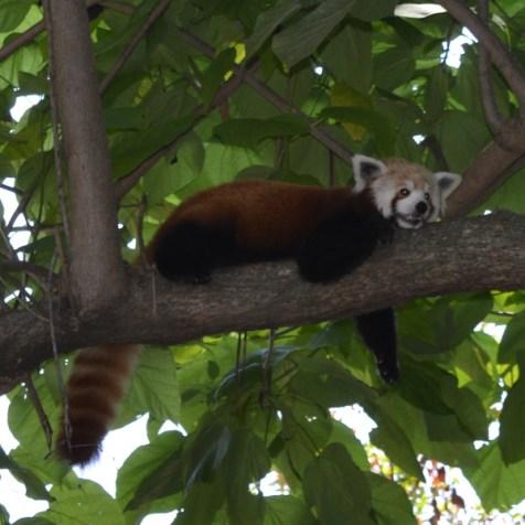 Memphis Zoo - a red panda - he seems to be smiling
