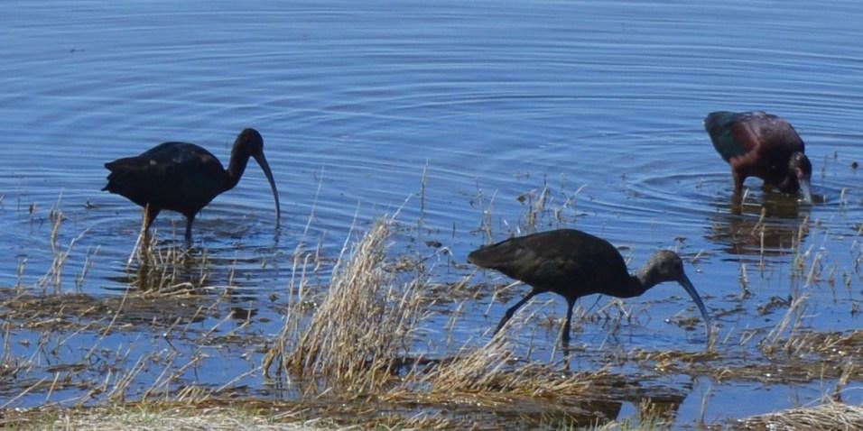 3 Wading Ibis