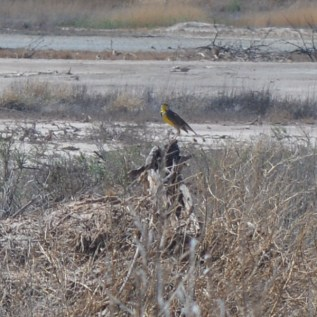 Unknown Yellow breasted bird