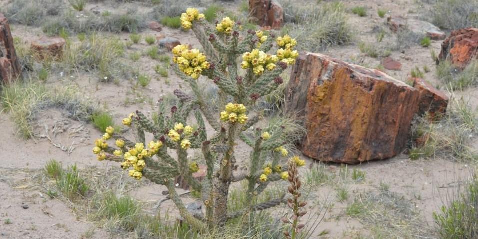 Flowering cactus by petrified log