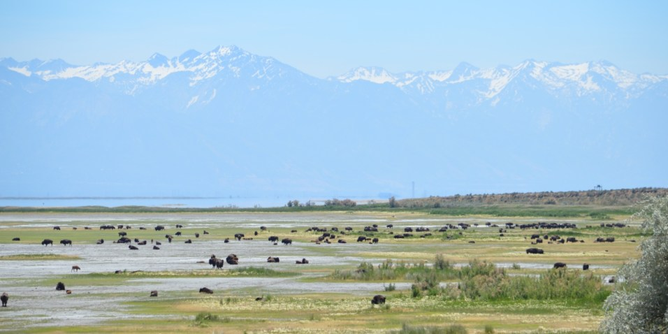 Antelope Island Bison herd and a mountain backdrop