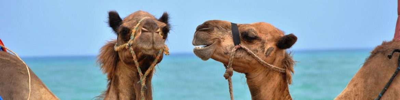 Zwei Kamele, im Hintergrund blaues Meer