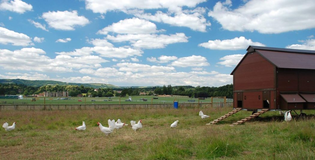 chickens-with-view