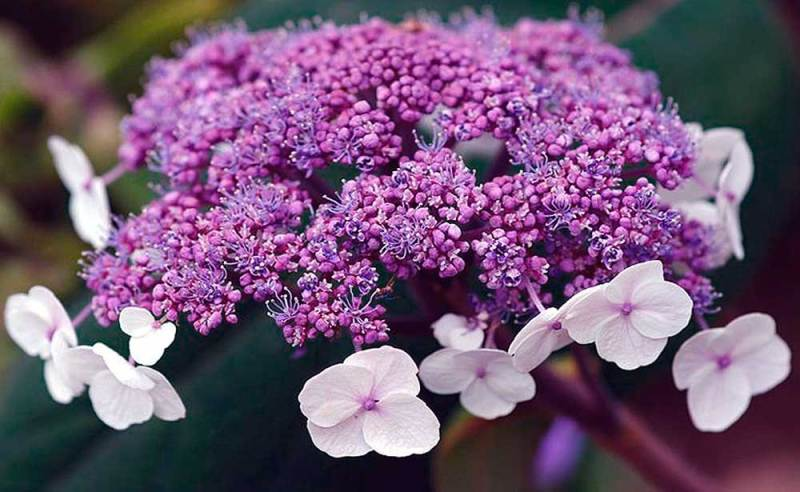 beautiful purple Hydrangea Sargentiana gardening in Kent