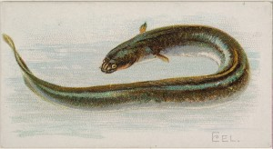 Allen & Ginter (American, Richmond, Virginia) Eel, from the Fish from American Waters series (N8) for Allen & Ginter Cigarettes Brands, 1889 American,  Commercial color lithograph; Sheet: 1 1/2 x 2 3/4 in. (3.8 x 7 cm) The Metropolitan Museum of Art, New York, The Jefferson R. Burdick Collection, Gift of Jefferson R. Burdick (Burdick 201, N8.11) http://www.metmuseum.org/Collections/search-the-collections/407067