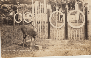 Simon Legree, sire of Topy's several set of twin deer. Trained to perform tricks by Frank Baldwin and kept in a pen near the general store.