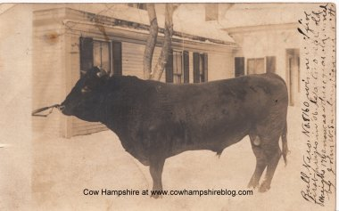 Nero, the prize winning bull of East Concord, New Hampshire, owned by the Sanborn family.