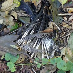 2019 Remains from Heron Fledgling