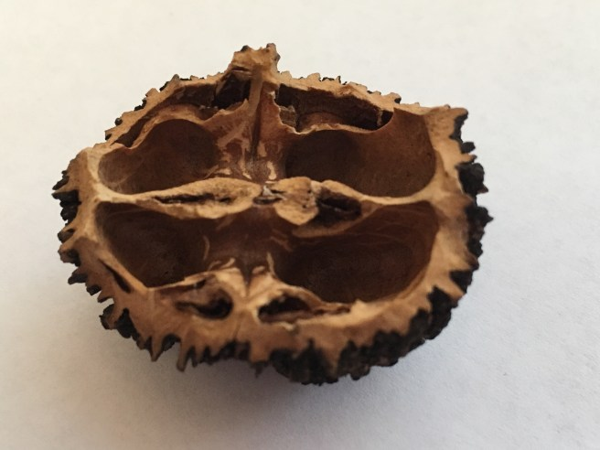 a black walnut, opened by a squirrel