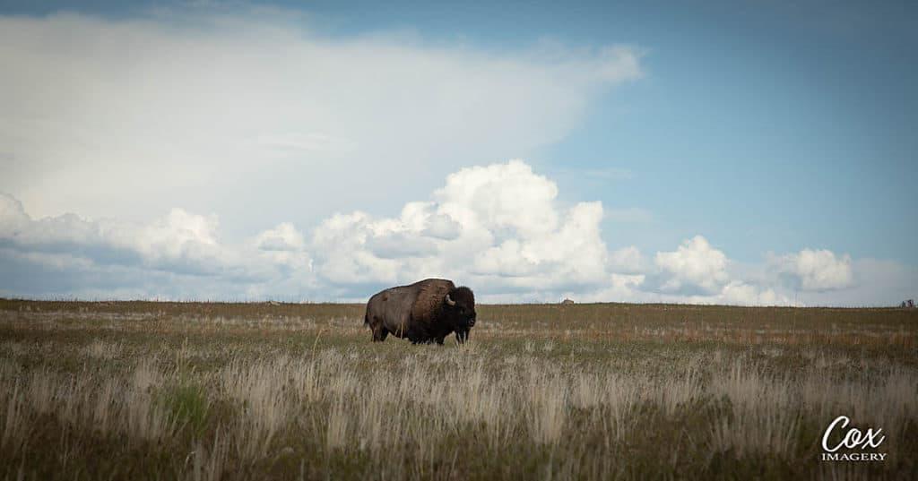 Utah Bison