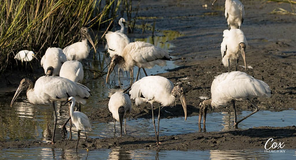 Wood Stork Group Huntington Beach