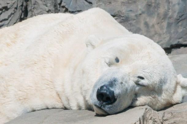 Urso polar no Central Park Zoo no Central Park em Nova York | Cozinha do João