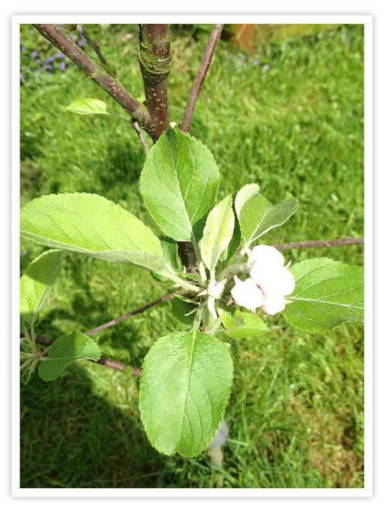 Die erste Blüte am Apfelbäumchen bewundert