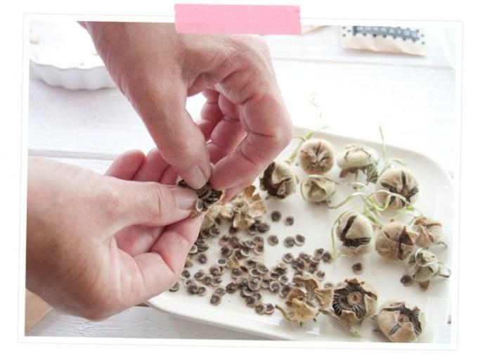 Die Samen werden vorsichtig aus den getrockneten Blüten gelöst