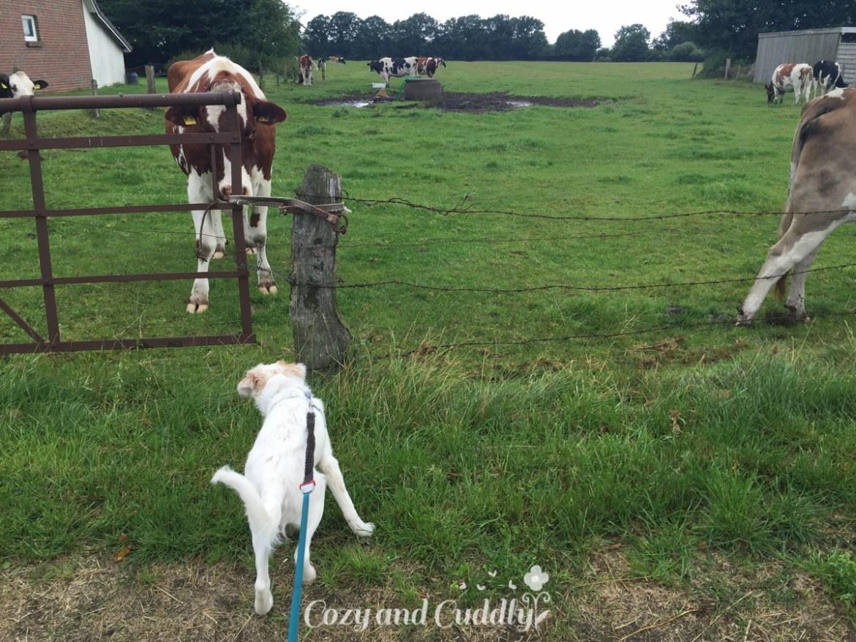 Wie jeden Morgen Kühe kucken. Die finden sich gegenseitig total spannend!