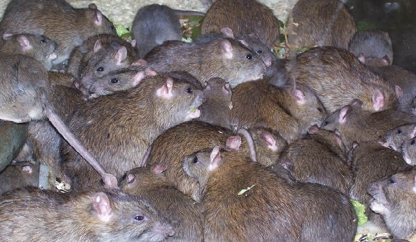 The multimammate rat, the vector of the LASSA Fever which the Ebonyi state Government have earmarked 250 million Naira to fight.
