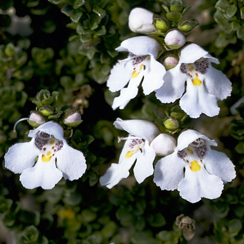 Image result for prostanthera cuneata
