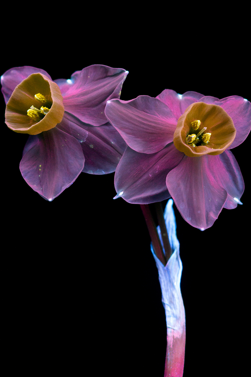 http://i1.wp.com/www.cpburrows.com/wp-content/uploads/2016/03/Narcissus-6-Small.jpg?fit=853%2C1280