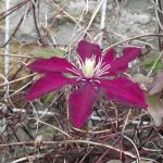 Clematis in November  - Crabbs Bluntshay Farm
