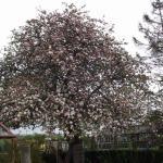 Apple tree in full blossom