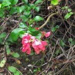 November Jasmine - Crabbs Bluntshay Farm