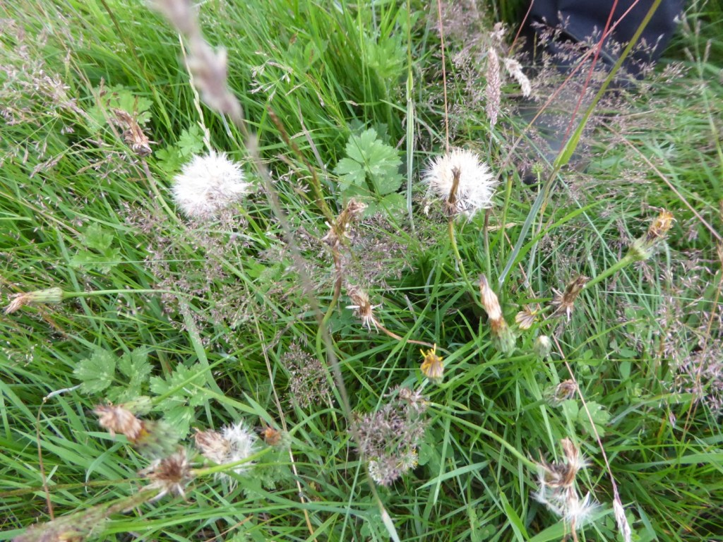 RESEEDING THE MEADOW – SECOND STAGE – GATHERING SEEDS