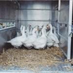 Geese at Christmas - Crabbs Bluntshay Farm