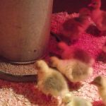 1st food for 2 day old goslings