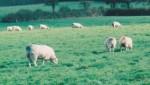 sheep and rams
