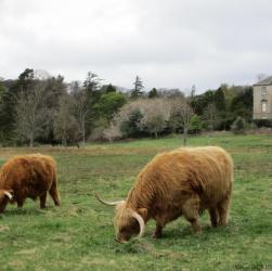 Cracking Retirement Highland Cows