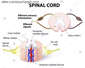 Spinal nerves , spinal cord