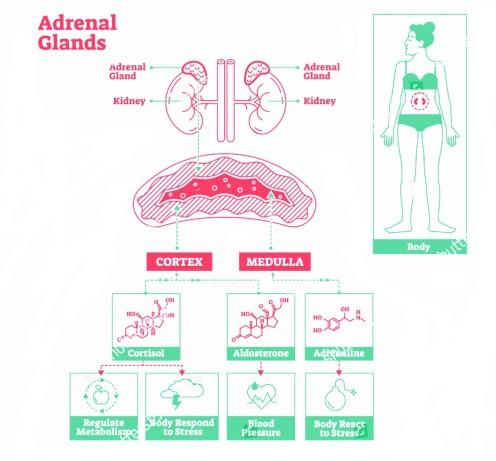Adrenal gland strucutre