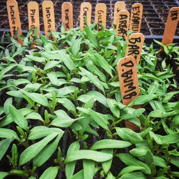 Life Arises Farm tomato starts - Wolcott, VT