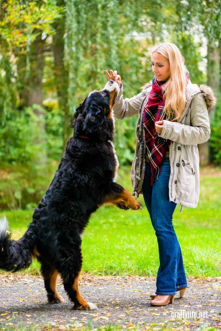 Burmese Mountain dog standing on hind legs next to blond woman with plaid shirt