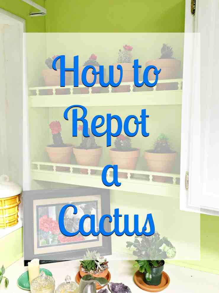 how to repot a cactus