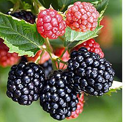 blackberry season in Moville