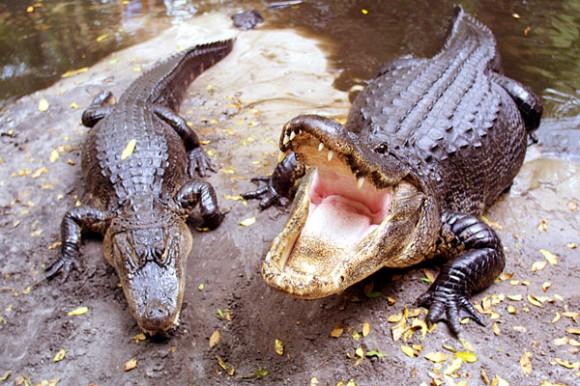 Alligators-580x386