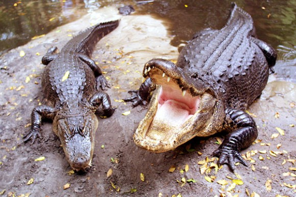 Alligators-580x386