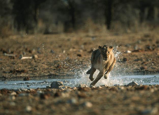 lion-hunt-06