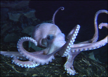 octopus_hzoom