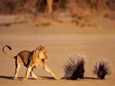 porcupine-quills-2