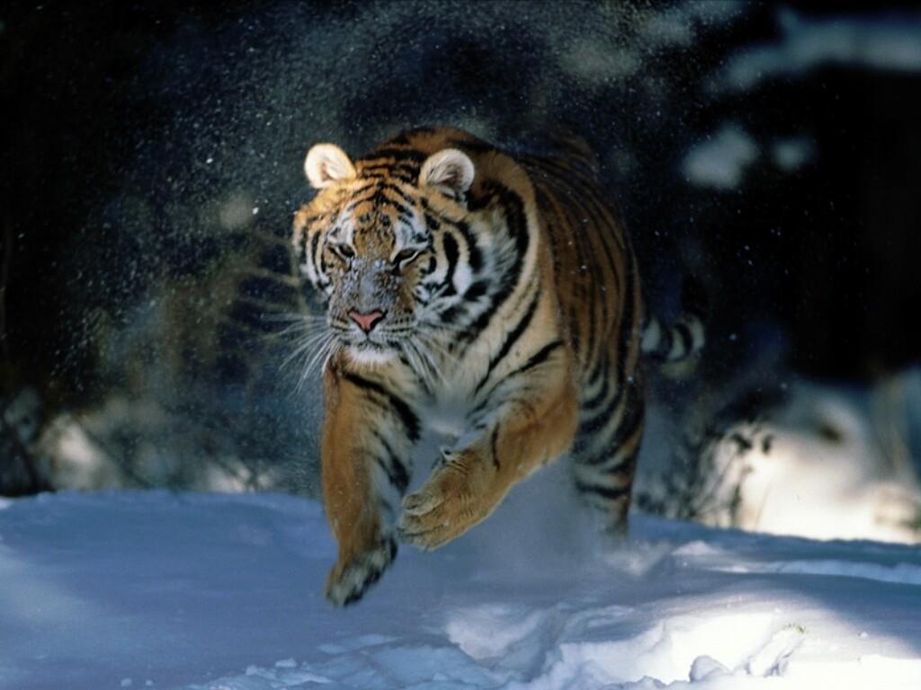 siberian-tiger-running-fast